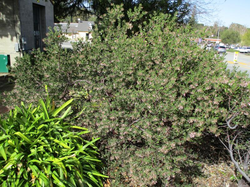 Arctostaphylos densiflora Sentinel - Vine hill manzanita 'Sentinel'
