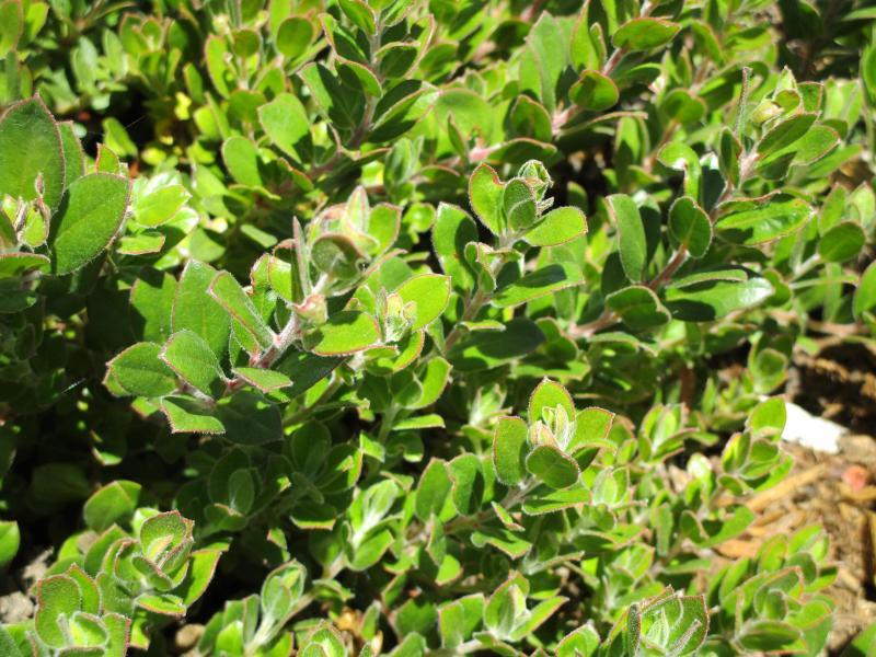 Arctostaphylos edmundsii Carmel Sur - Little sur manzanita 'Carmel Sur'