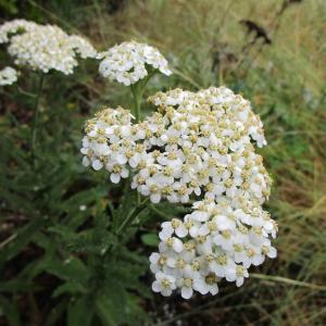 Achillea millefolium Placer County - Yarrow