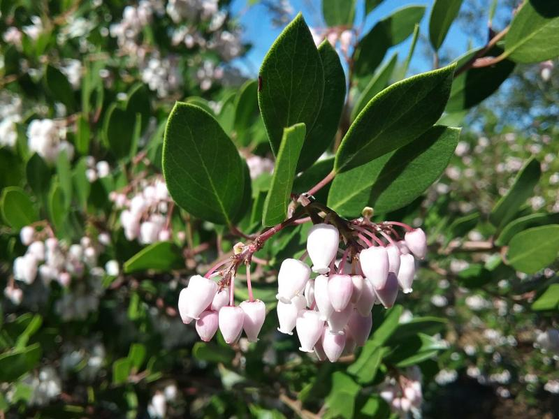 Arctostaphylos densiflora Howard McMinn - Vine hill manzanita 'Howard McMinn'