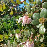 Arctostaphylos edmundsii Rosy dawn - Little sur manzanita 'Rosy dawn'