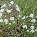 Allium fimbriatum - Fringed onion