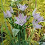 Allium unifolium - One leaf onion