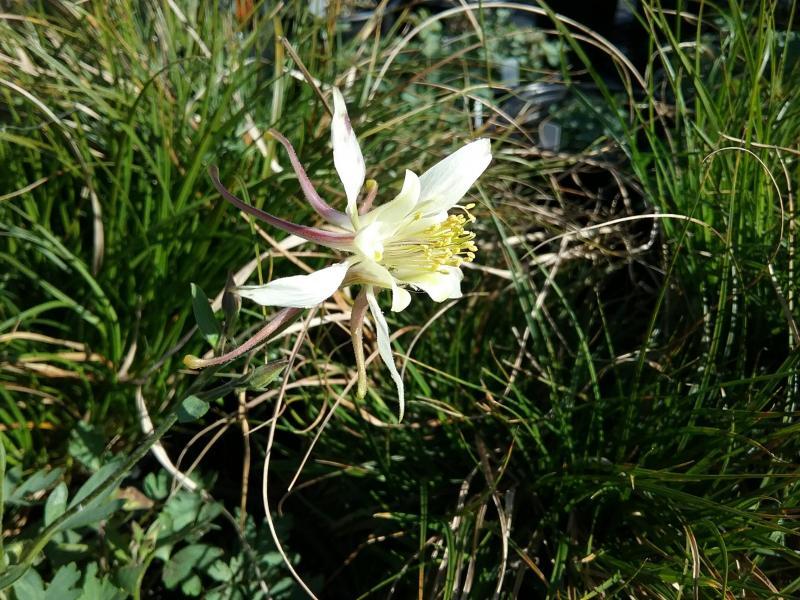 Aquilegia pubescens - Sierra Columbine