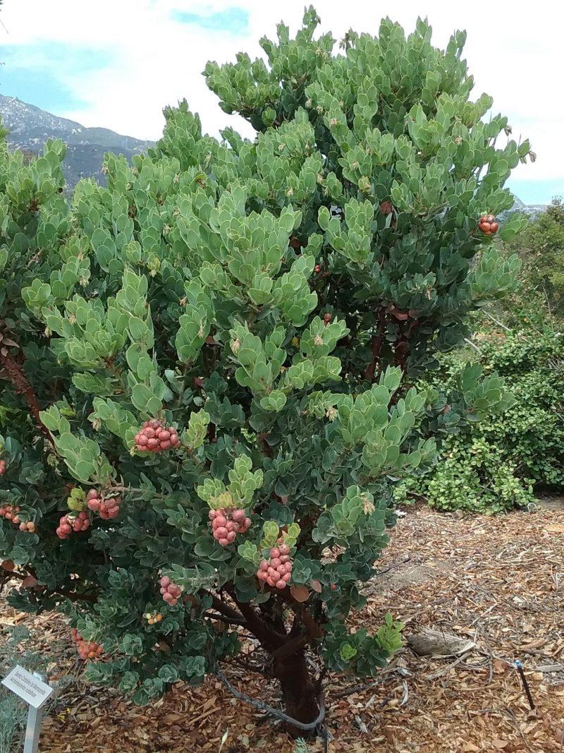 Arctostaphylos catalinae - Santa Catalina Island Manzanita