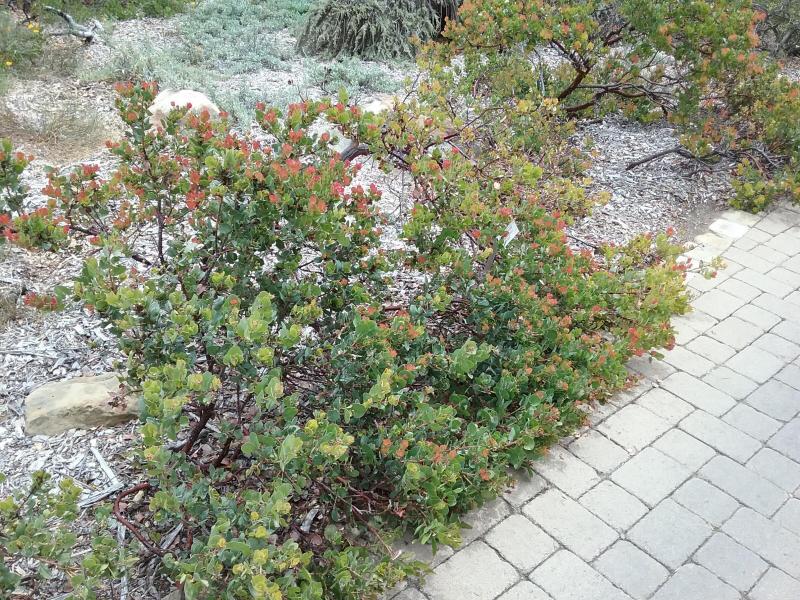 Arctostaphylos glauca Canyon Blush - 'Canyon Blush' Bigberry manzanita