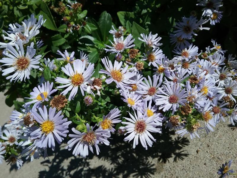 Symphyotrichum chilensis 'Pt. St. George' - 'Pt. St. George' California aster