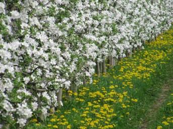 Apfelblüte und Löwenzahnblüte