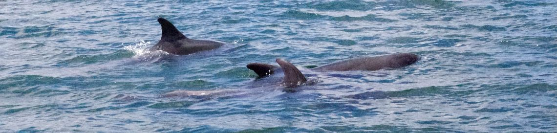Dolphins Coverack Cornwall