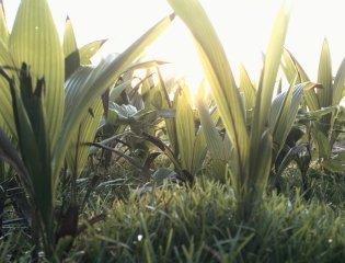 Healthee Organic Tumeric Drinks-tumeric field