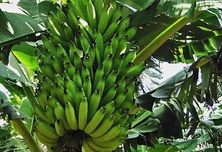 Bananier, Ilha de Madeira