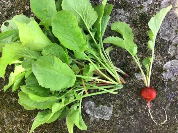 Fanes de radis du jardin