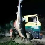 γαλαζιοσ καρχαριασ1