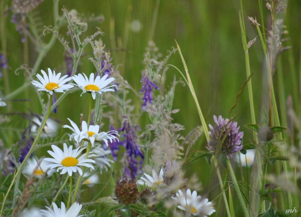 Hoa cúc dại tháng sáu 2014 (3)