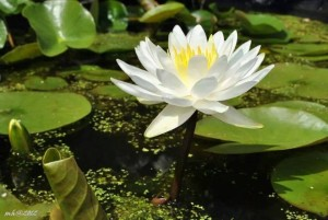 Water Lily 2012