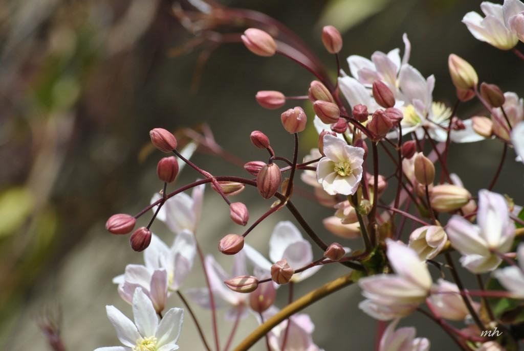 clematis-armandii-appleblosso-2014-9