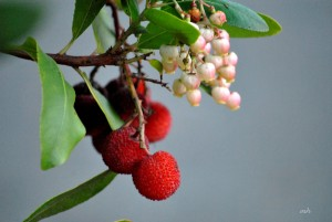 Eastern Strawberry tree (7)