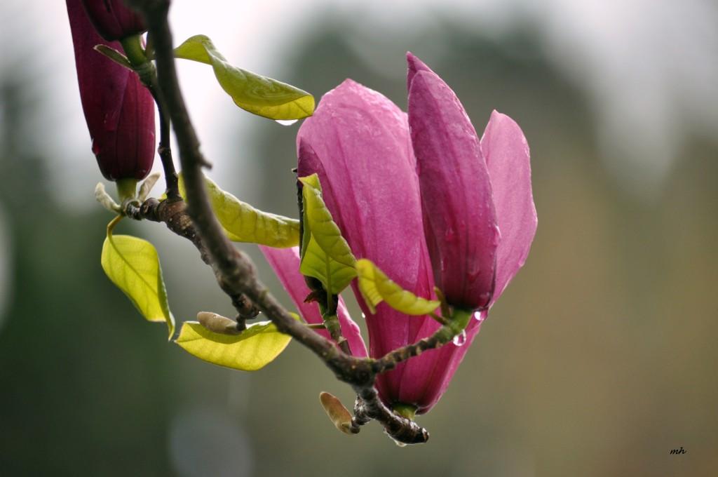 Magnolia 2016 (8)