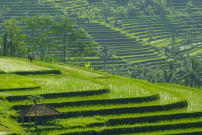 Rice Paddy in Vietnam