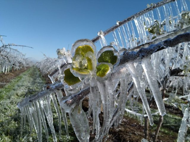 Fiaccole, ibernazioni e paglia per sopravvivere al gelo