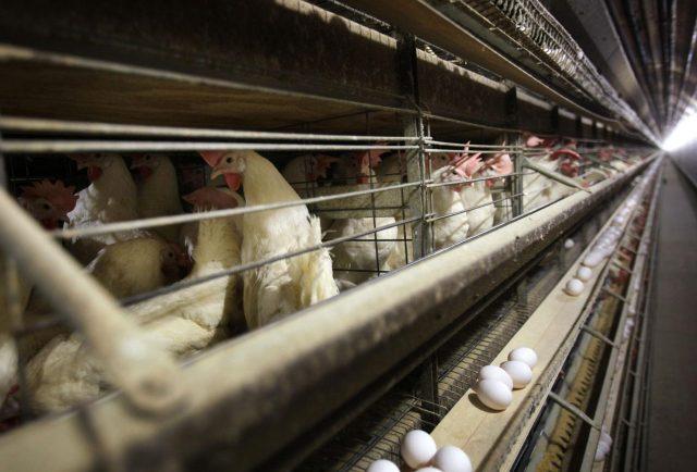 Carne sintetica olandese, Procaccini (FdI Ecr): «L'Europa chiarisca l'utilizzo dei fondi covid»