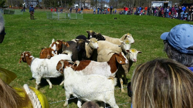 Sheep and goats being herded at the Gore Place Sheep Sheering Festival
