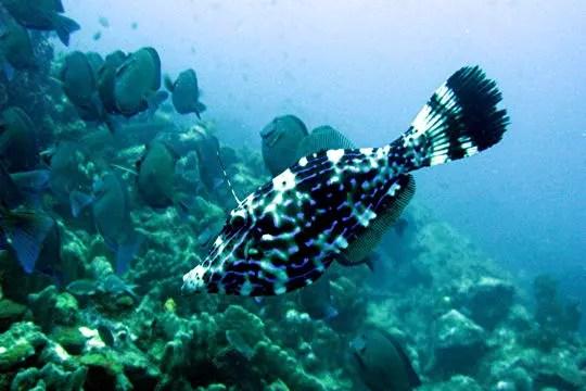 le poisson 'bourse-écriture'