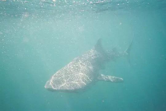 le requin-baleine