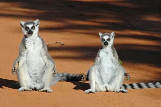 les lémuriens se chauffent au soleil