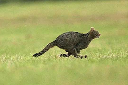 la fuite du chat sauvage