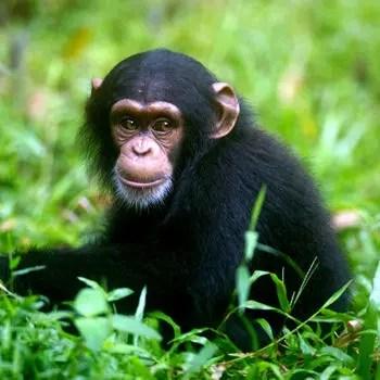 le chimpanzé, comme d'autres singes, est capable d'automédication.