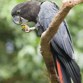 le gris d'afrique est capable de communiquer avec les humains.
