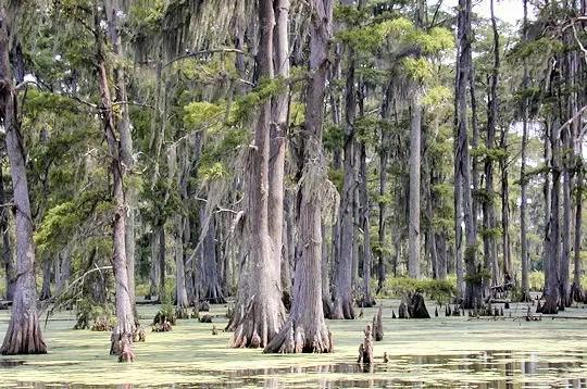 dans le bas-mississipi, la forêt mixte du sud-est des etats-unis se compose