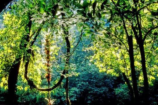 sarawak constitue la dernière forêt vierge de bornéo. elle aussi est touchée par