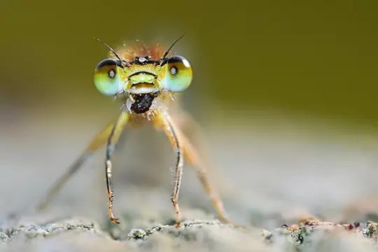 yeux d'agrion