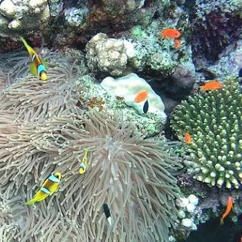 le corail et l'anémone : de fausses fleurs, mais véritables prédateurs