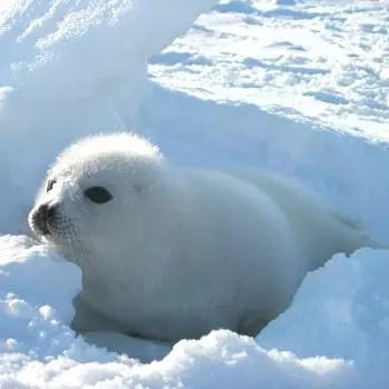 bébé phoque deviendra un grand prédateur
