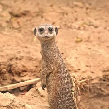 le suricate, roi de la savane