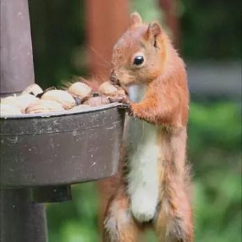 l'écureuil aime aussi les noix, les graines de tournesol, les glands...
