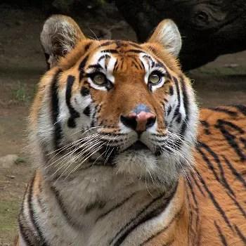 a l'état sauvage, le tigre est asiatique.