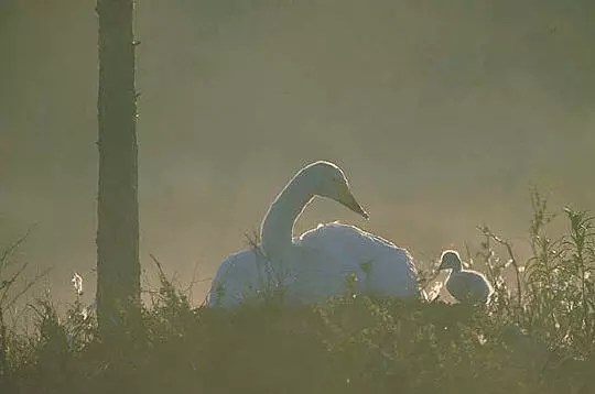 les cygnes nouveaux-nés sont précoces et vont à l'eau immédiatement après