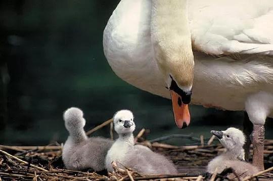les petits cygnes sont en sécurité avec leur mère qui les protège des