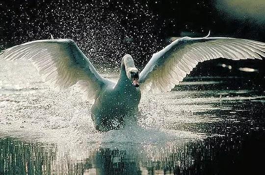 les cygnes courent sur l'eau à l'envol.lorsqu'ils sont en groupe, ils