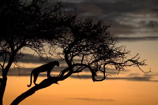 femelle léopard