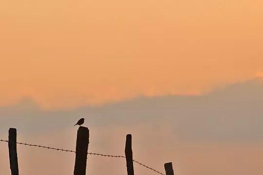 un tarier pâtre au soleil couchant