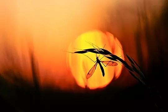 tipule profitant des derniers rayons du soleil
