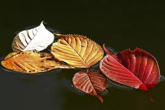 feuilles posées sur l'eau