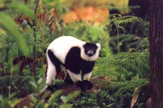 lémurien lemur vari