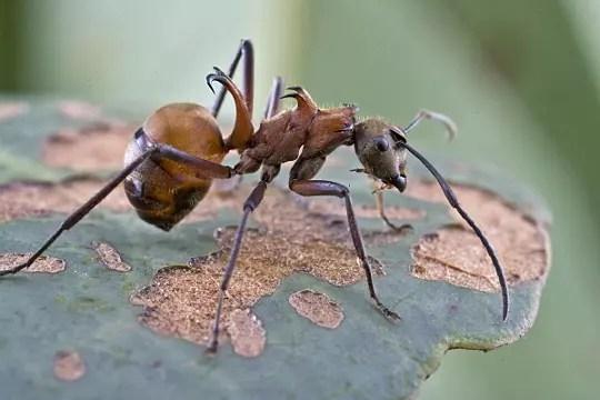 fourmi à crochets