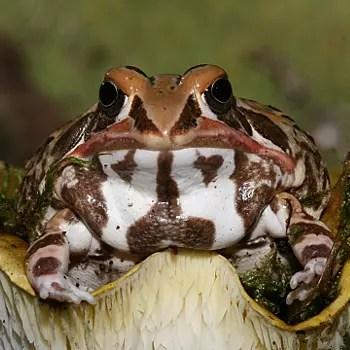 les couleurs de la grenouille africaine ornée sont vraiment superbes.